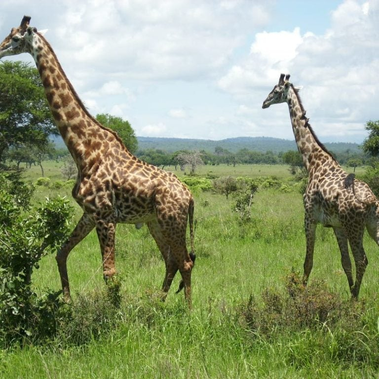 A group of giraffes in the mikumi